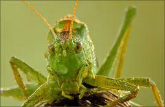 the big bad grasshopper