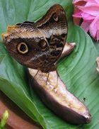 The Big Owl, Caligo memnon