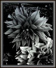 ...The black dahlia....