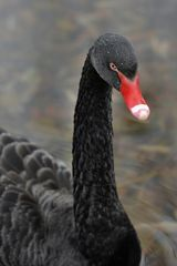 *the black swan*