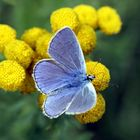 The blue butterfly...