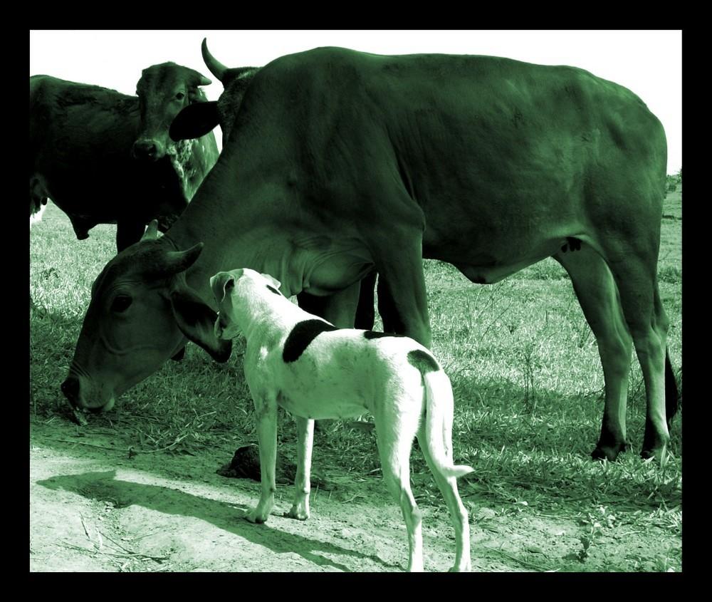 The Brazilian Cow Whisperer