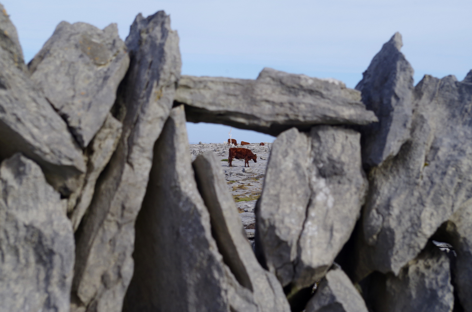 The Burren - cattle