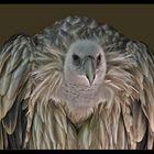 The carrion bird