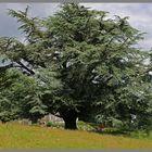 the cedar tree at holystone hall 6 Northumberland