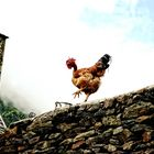 The Chicken and the Church