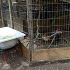 The chicken's bath