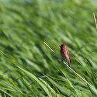 The common rosefinch (Carpodacus erythrinus