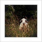 the cool sheep   das coole Schaf