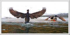 The cormorant and the mallard