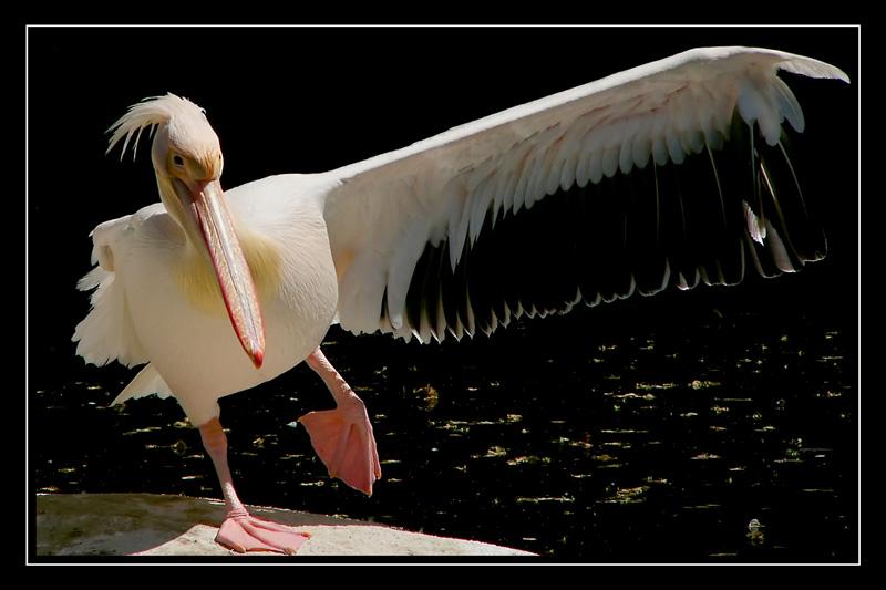 The Dancing Pelican