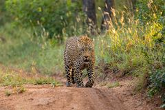 The Dominant Male Leopard