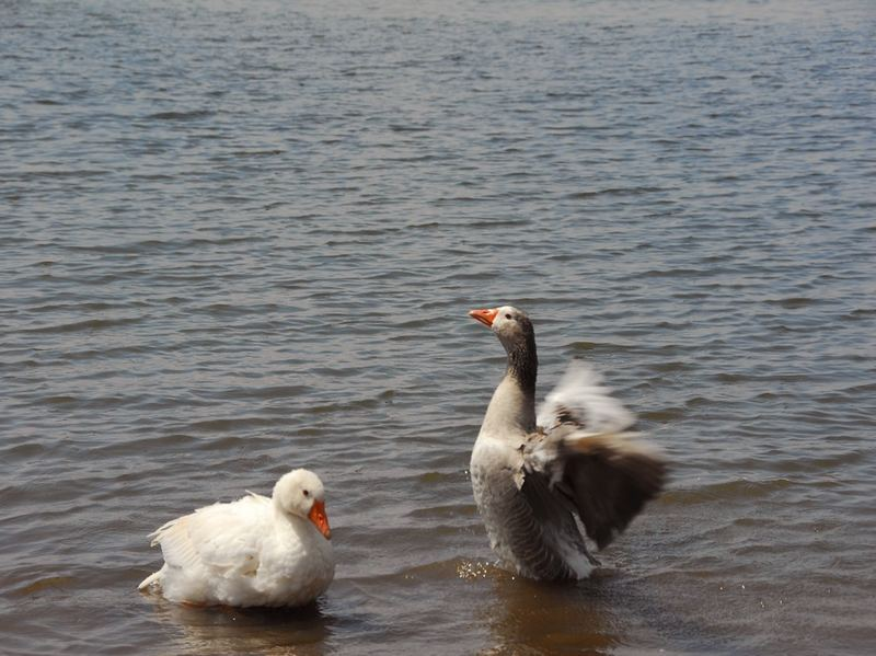 The Ducks at Tejocotal Mexico !