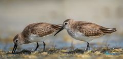 The Dunlins