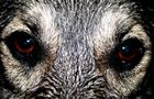 The eyes of the dog