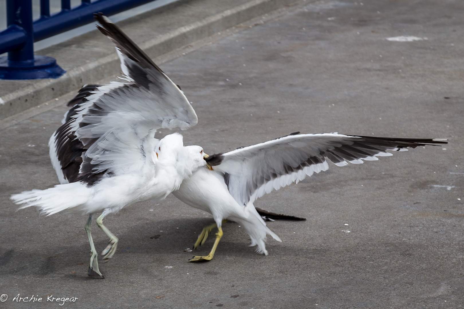 The fight of the Gulls