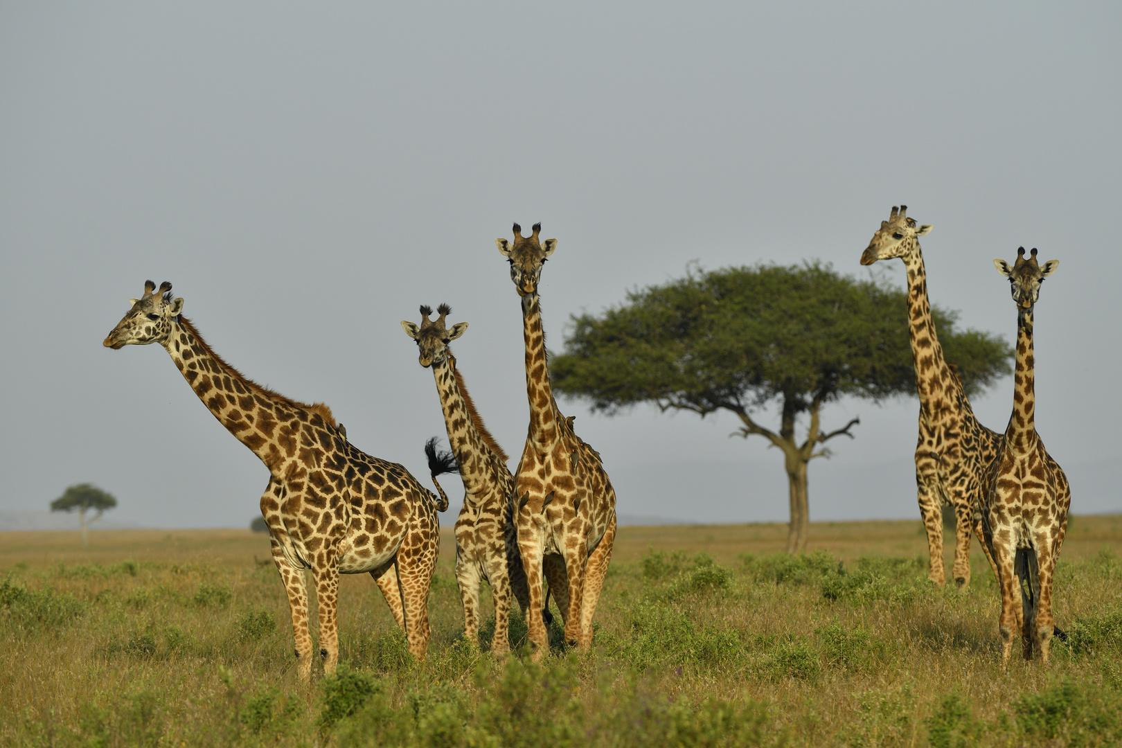 the five long necks