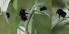 the flight of the bumble-bee.....
