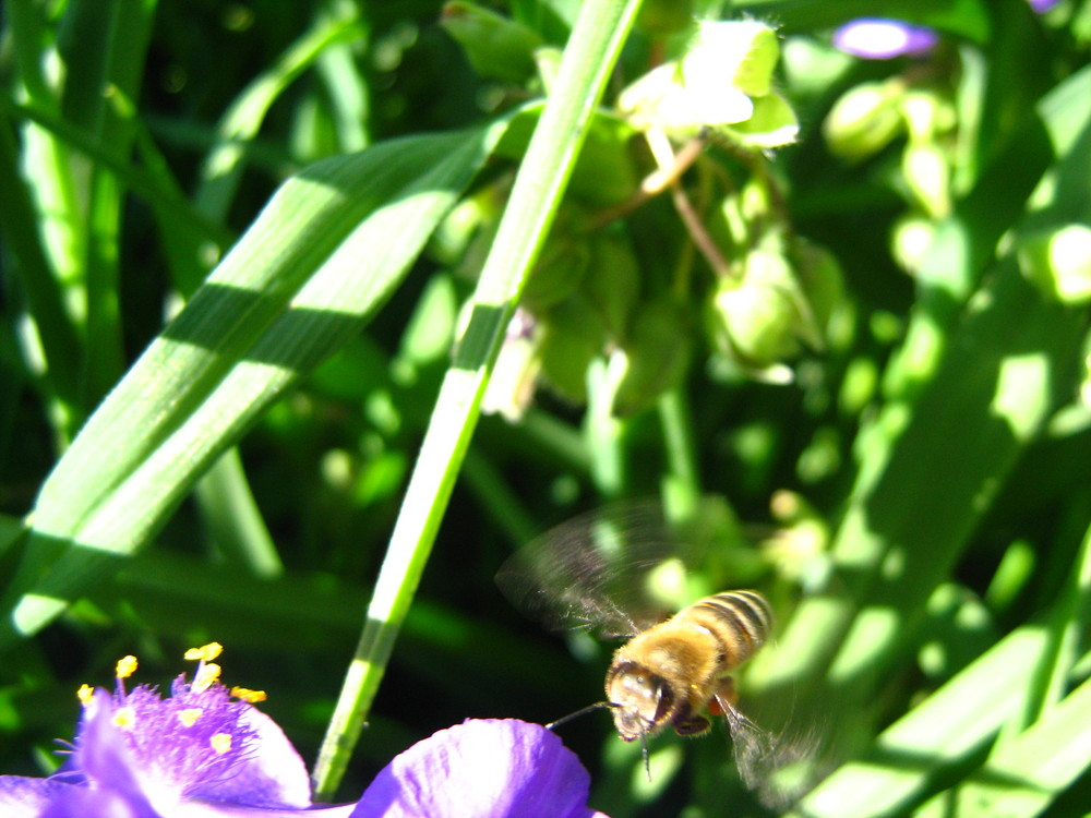 the fly of bee
