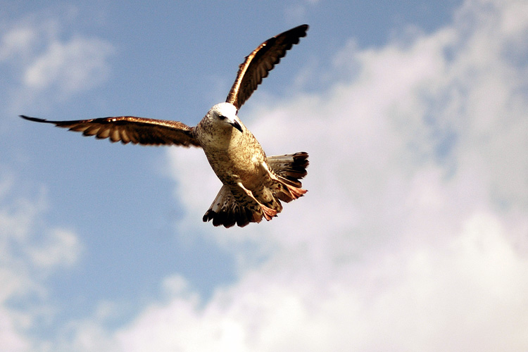 The fly of the seagull