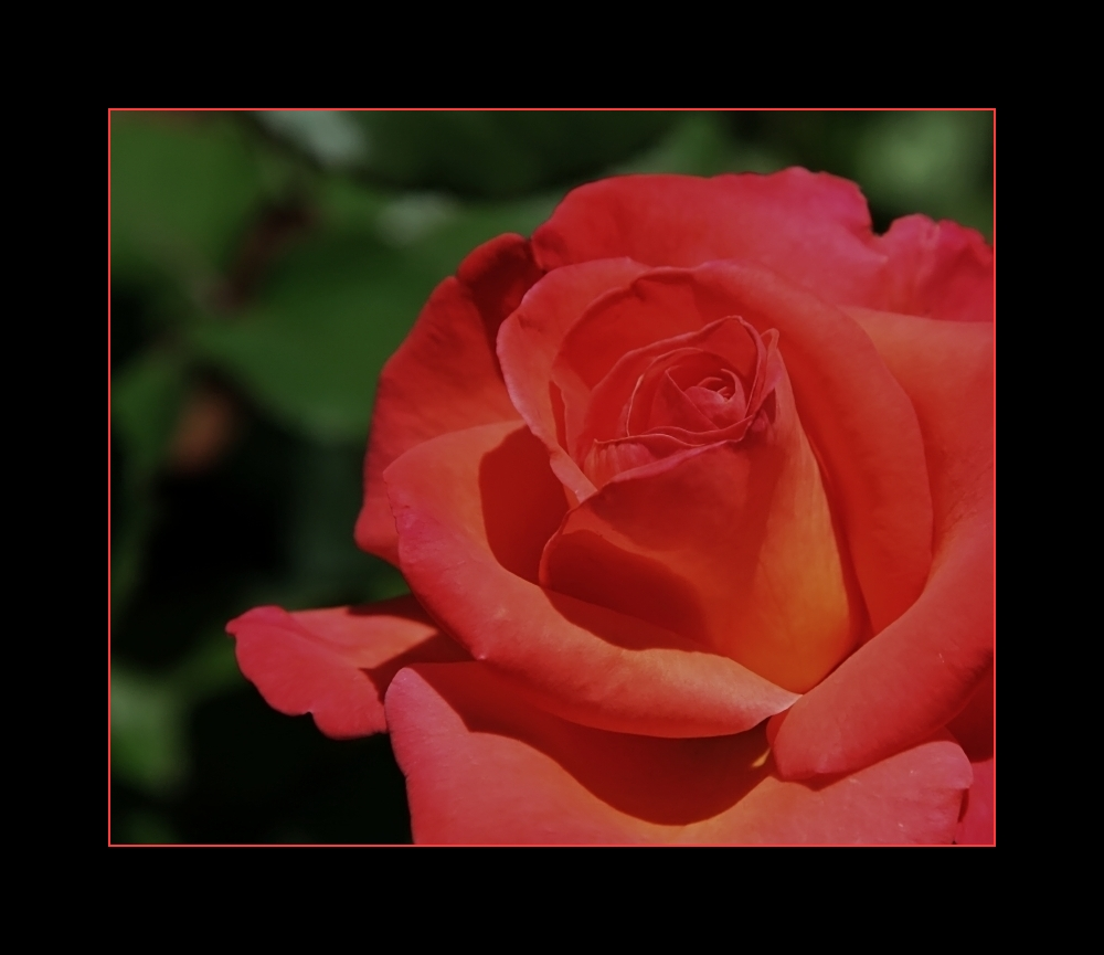 ... the friday rose ... / ... la rose du vendredi ...