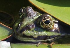 The Frog I