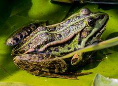 The Frog II