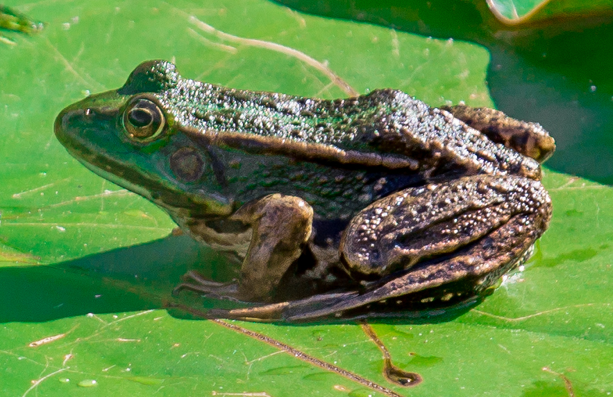 The Frog III