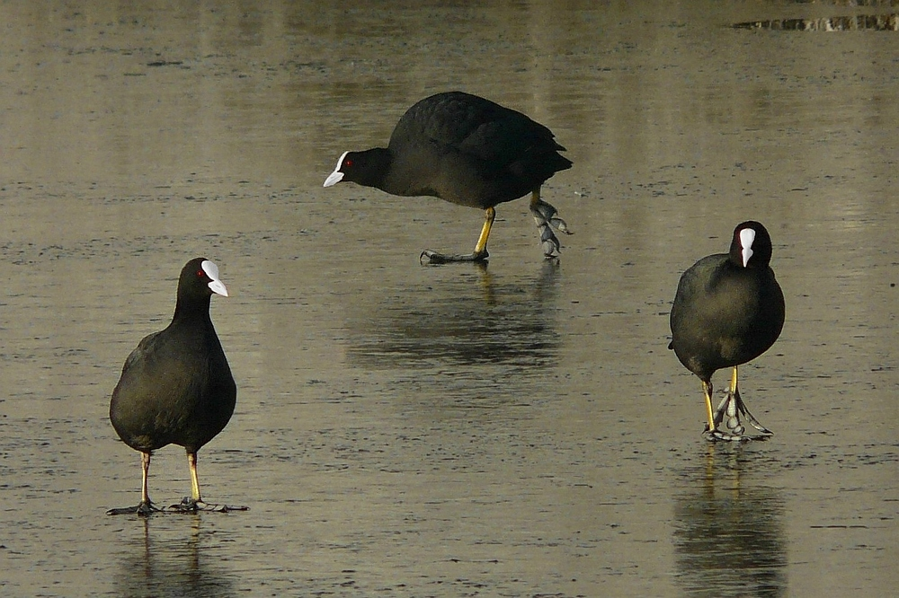 The Frozen World (7) : Coots