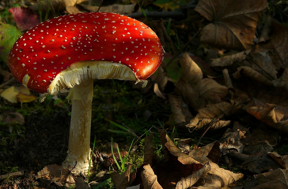 The Fungi World (135) : Fly Agaric
