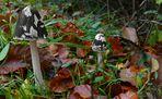 The Fungi World (149) : Magpie Inkcap