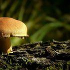 The Fungi World (161) : Torn Fibrecap