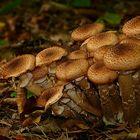 The Fungi World (287) : Honey Fungus