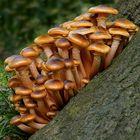 The Fungi World (305) : Honey Fungus