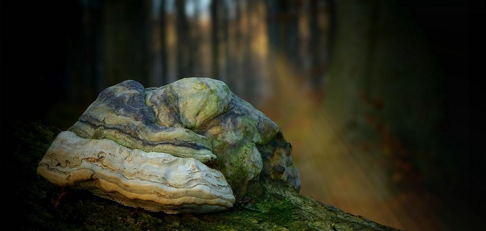The Fungi World (337) : Hoof Fungus