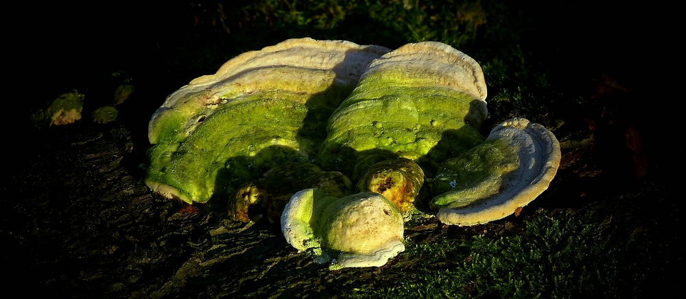 The Fungi World (339) : Lumpy Bracket