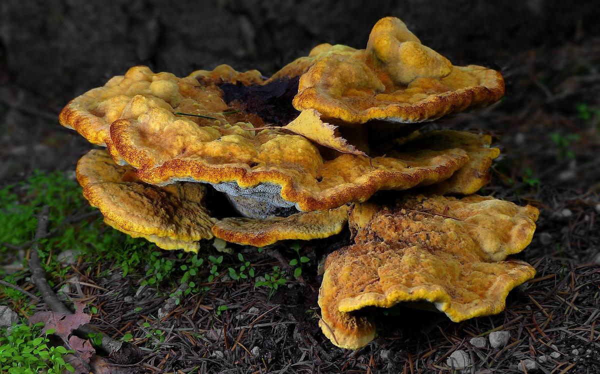 The Fungi World (405) : Woolly Velvet Polypore