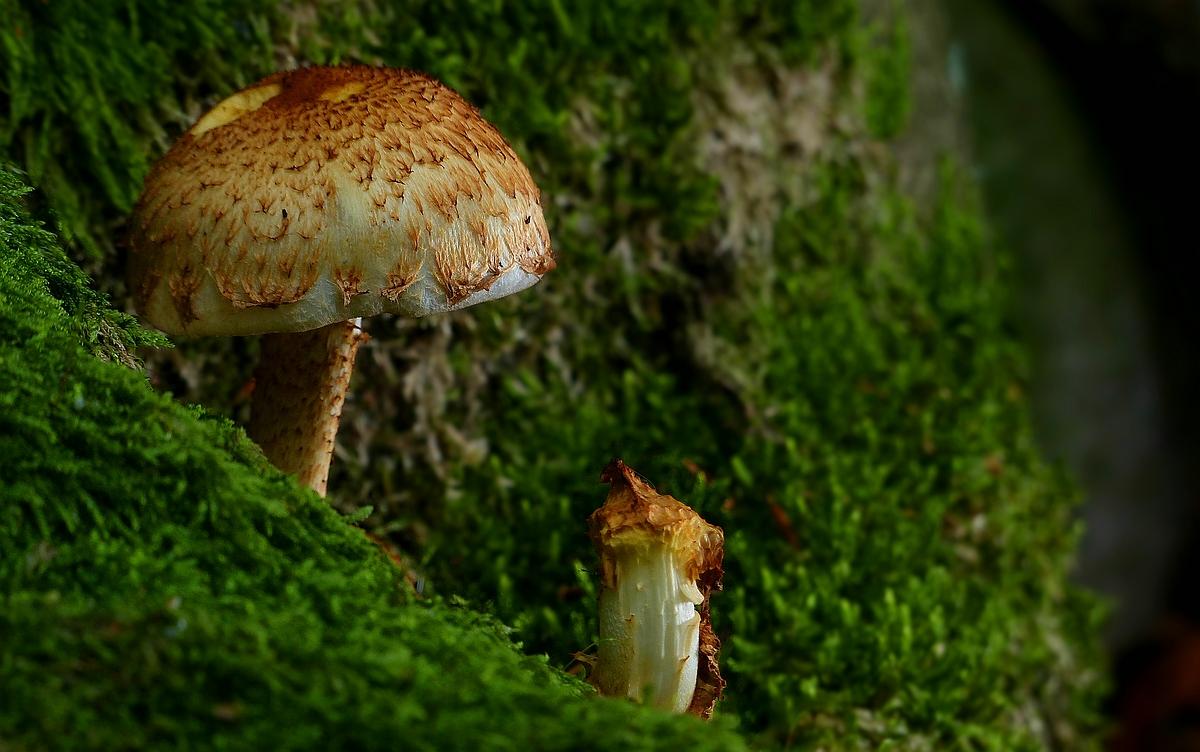 The Fungi World (422) : Shaggy Scalycap
