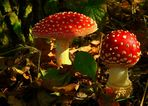 The Fungi world (52) : Fly Agaric