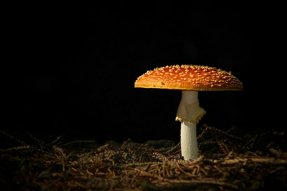 The Fungi world (73) : Fly Agaric