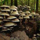 The Fungi world (88) : Clustered Brittlestem