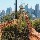 The giraffes view