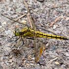the GOLDEN  DRAGON fly