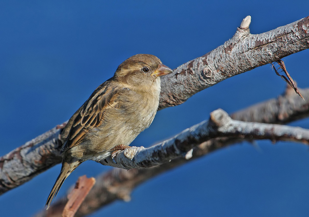 The humble Sparrow