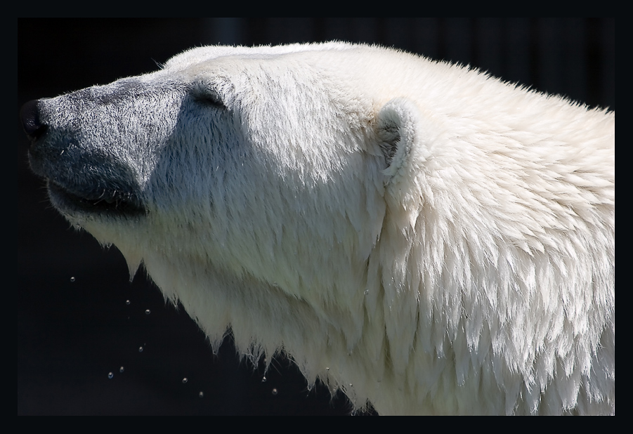 The Icebear