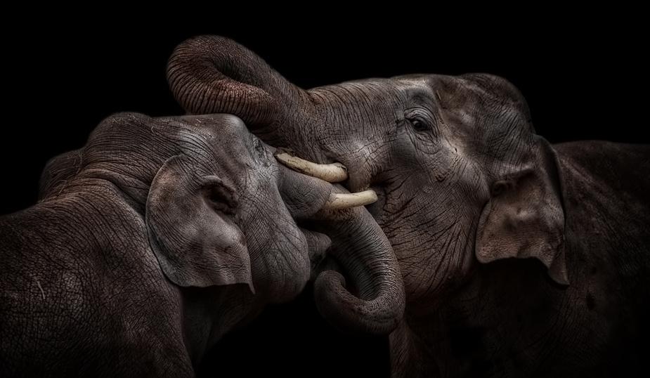 """The Indian Elephants"""