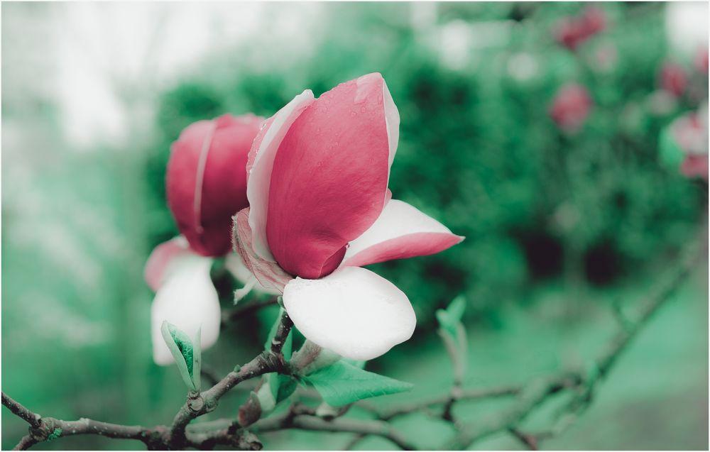 The last Magnolia