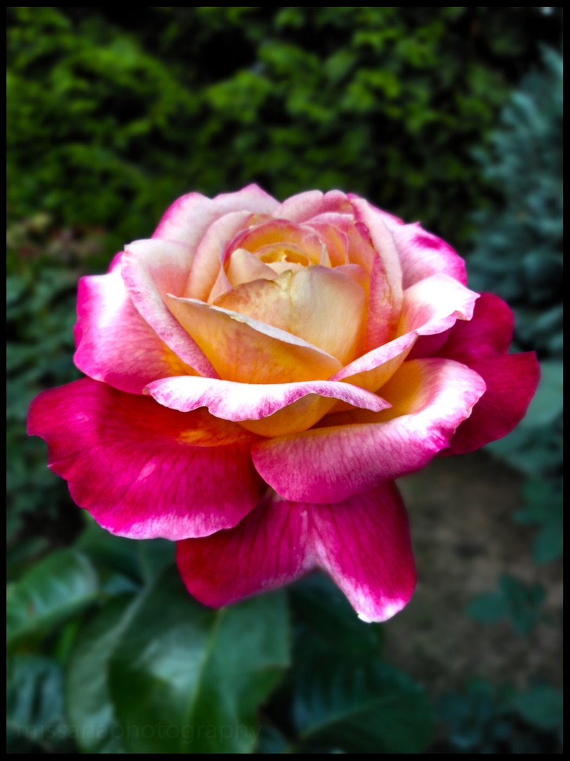 the last october rose