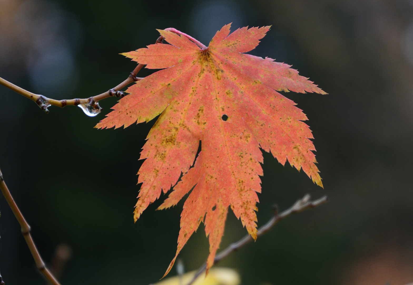 the leaf of Acer triflorum