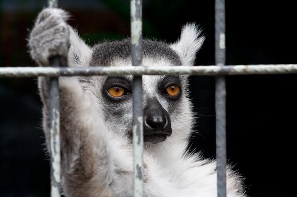 The Lemur King